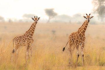 Junge Giraffen im Morgenlicht. von Gunter Nuyts