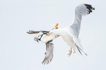 Papegaaiduiker wordt in vlucht gegrepen door zilvermeeuw van Jeroen Stel