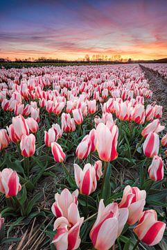 bollenvelden bij zonsondergang. van Martijn Kort