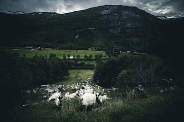 Norwegian goats