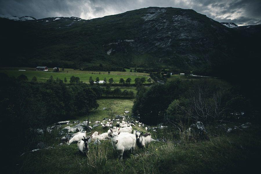 Norwegian goats van Jip van Bodegom