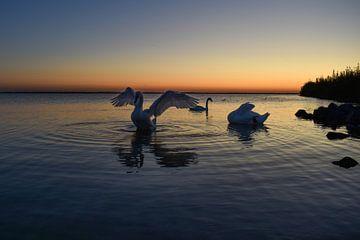 zwanen bij zonsondergang in Harderwijk van Aldo Sanso