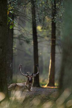 Damhirsch ( Dama dama ) ruht während der Brunft in seiner Brunftkuhle, Europa. von wunderbare Erde