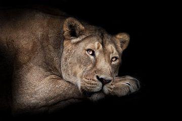 In der Dunkelheit liegt eine rothaarige, schmachtende Löwin mit offenen Augen im Profil, einer Schna von Michael Semenov