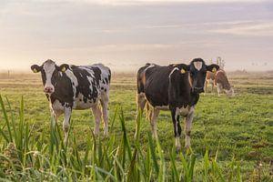 Jonge koeien in de ochtendmist