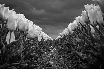 Tulpenfeld in schwarz-weiß von Pierre Verhoeven