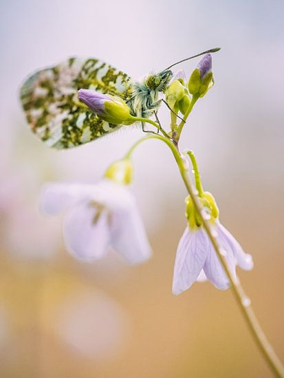 Vlinder op pinksterbloem van Lex Schulte