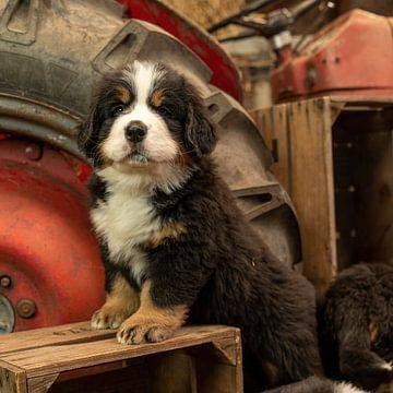 Berner Pup op kistje van Bob de Bruin