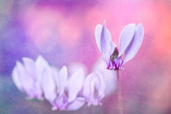 cyclaam in roze