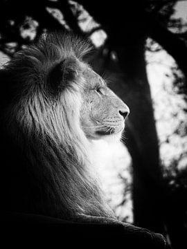 Leeuw op de uitkijk van Jasper Bloemsma