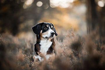 entelbucher hund in der Heide von Lotte van Alderen