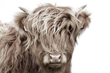 Schotse hooglander kop kalf van Sascha van Dam