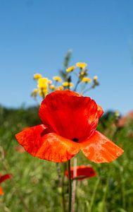 Mohnblume vor blauen Himmel