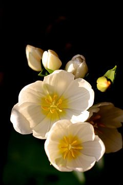 Tulipes blanches sur Marianna Pobedimova