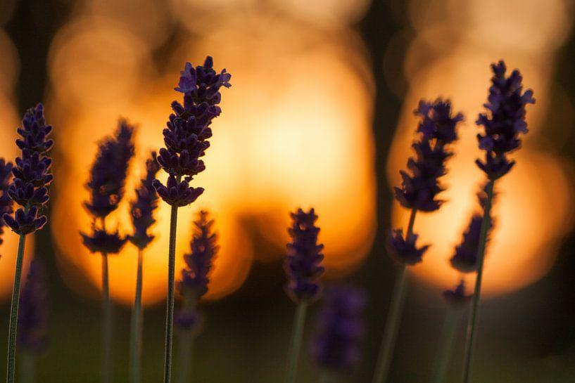 Lavendel tijdens zonsondergang van Robbie Veldwijk