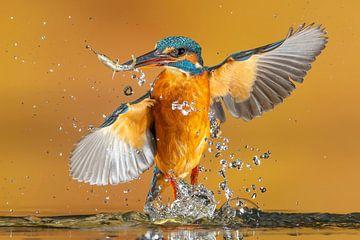 Eisvogel... von Arno van Zon