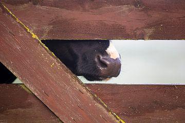 Koe verborgen achter het hek van Harry Kolenbrander