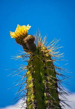 Gelb blühenden Kaktus in der Wüste von Rietje Bulthuis