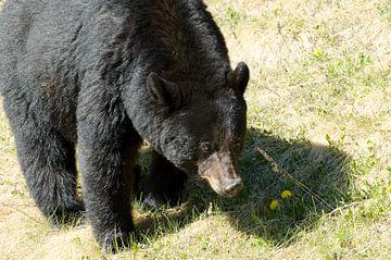 Zwarte beer in Canada van Ohana