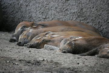 Schweinchen von Suzana Luttermann