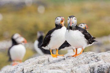 Vögel | Papageientaucher mit Fischen, die in der Kolonie gefangen wurden, landeten auf den Farne-Ins von Servan Ott