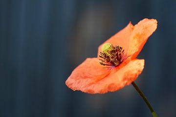 Rote Mohnblume auf blauem Hintergrund von Cor de Hamer