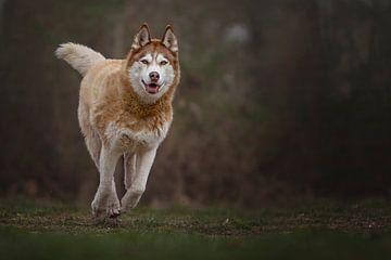 Laufender Schlittenhund von Petra Lakerveld