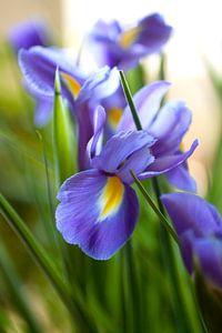 Iris solis von