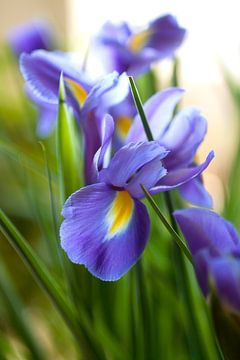 Iris solis van Sandor Ploegman-Stam