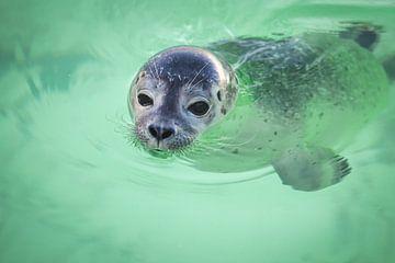 Zwemmend zeehondje van dichtbij van Simone Janssen
