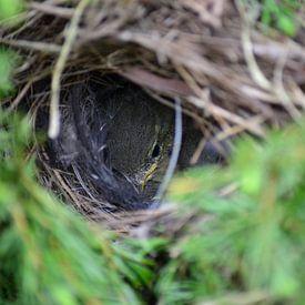 Jong vogeltje in het nest  van Aafke's fotografie