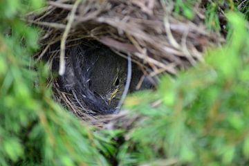 Jong vogeltje in het nest  sur Aafke's fotografie