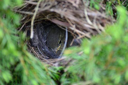 Jong vogeltje in het nest  van