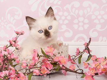 Ragdoll kitten in roze omgeving sur Elles Rijsdijk