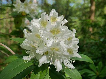 Blüte eines weißen Rhododendrons von Wim vd Neut