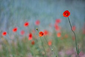 Field of poppies van Peter van Hengstum