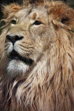 Tête de lion en gros plan