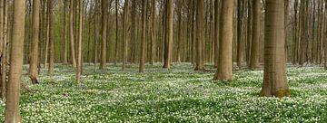 Hallerbos in een tapijt van bloemen van Toon van den Einde