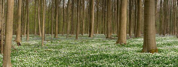 Hallerbos sur un tapis de fleurs