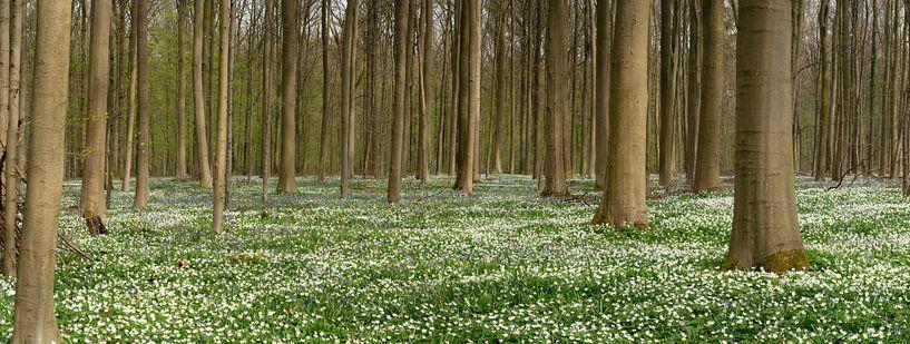 Hallerbos sur un tapis de fleurs sur Toon van den Einde
