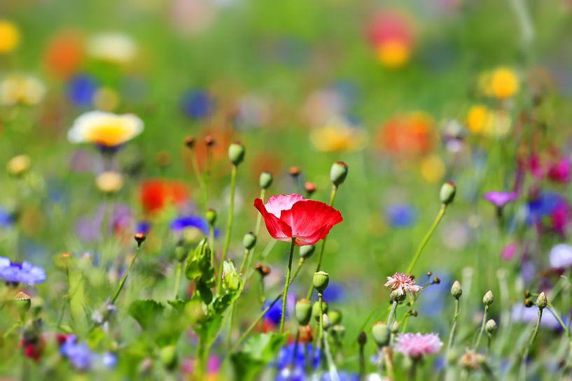prairie de fleurs sur fotoping