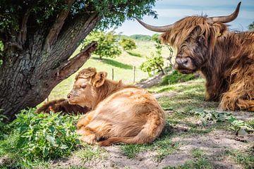 Hooglander kalf met zijn moeder onder de boom van Tina Linssen