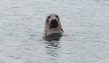 zeehond in Zeeland van