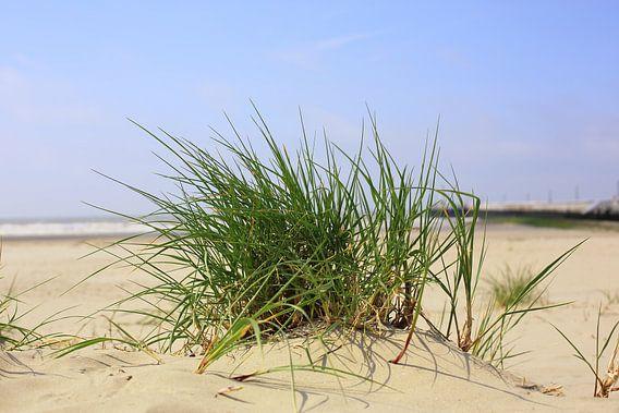Helmgras op het strand