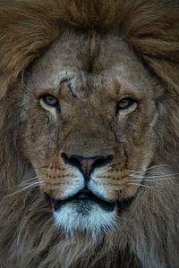 Löwe: Nahaufnahme eines Löwenkopfes