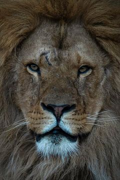 Löwe: Nahaufnahme eines Löwenkopfes von Marjolein van Middelkoop
