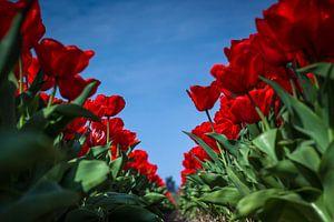 Tulpen tegen blauwe lucht (Holland) van