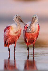 Rode Lepelaars in ochtendlicht, Florida, Verenigde Staten van Wilfred Marissen