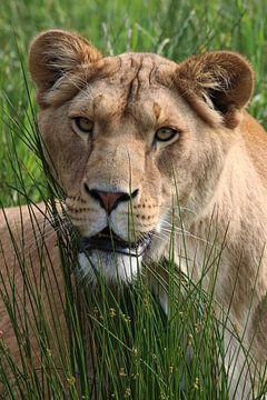 Löwin von Tazi Brown