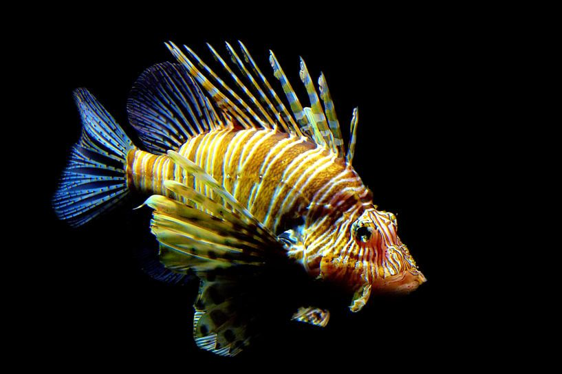 Le poisson-lion rouge sur Jan Brons